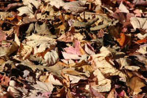 Leaves for mulch in backyard garden