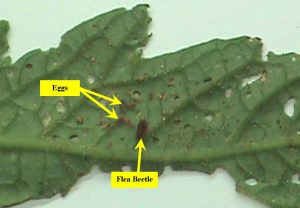 Flea Beetle and Eggs Leaf Holes