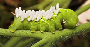 Hornworm with wasp eggs on its back.