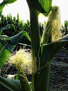 corn plant ear silk
