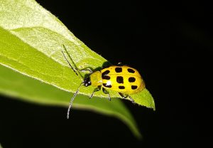 Cucumber Beetle in a backyard garden