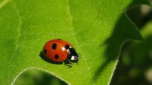 Lady Bug on a cucumber leaf