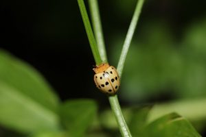 Mexican bean beetle on green beans