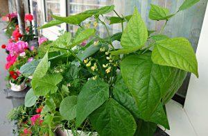 Bush Green Beans