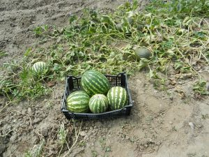 watermelons in a backyard garden