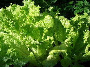 Salad Bowl (Leaf) Lettuce