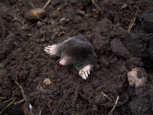 Mole Peeking Out of Hole