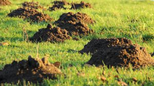 Molehills In My Backyard