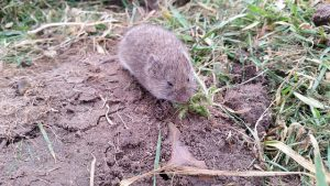 The Vole is a Rodent-like plant-eating mammal.