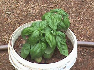Basil in a container pot.