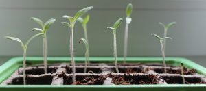 Tomato seedlings in biodegradable pots.