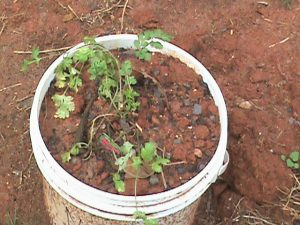 Coriander in a container pot.
