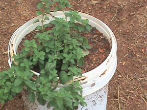 Oregano in a container pot.
