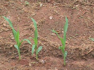 Corn seedlings in Jim's garden.