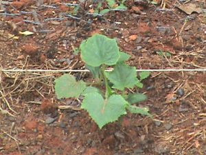 Cucumber seedling in Jim's garden.