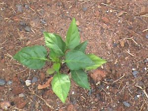 Bell Pepper seedling in Jim's garden.