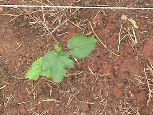 Okra seedling in Jim's garden.