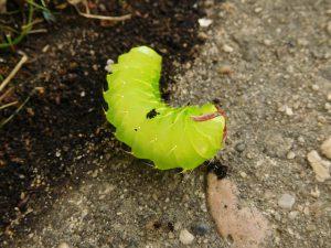 Cabbage Worm.