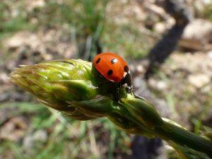 Lady Bug on Asparagus Tip