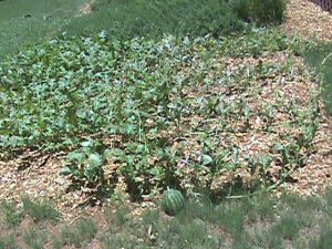 Jim's watermelon patch.