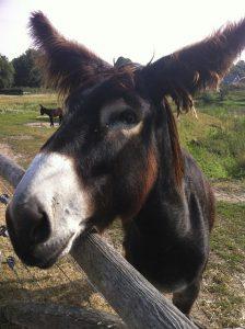 Jed's mule