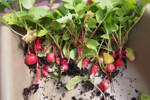 Radishes from a home garden.