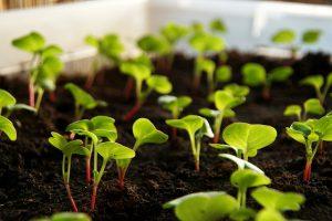 Radish seedlings.