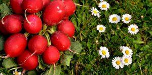 Flavorful, sweet, crunchy radishes.