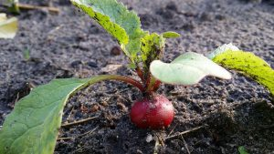 Radish ready for harvest.