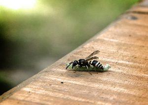 Predatory wasp eating a hornworm.