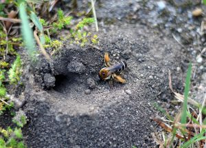 Hole in the ground is yellow jacket nest.