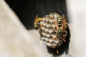 Yellow jacket nest under outside stairs.