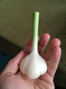 Softneck garlic.