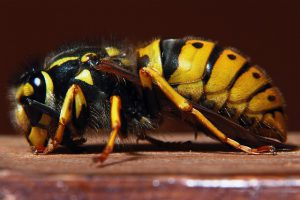 Hornet wasp.