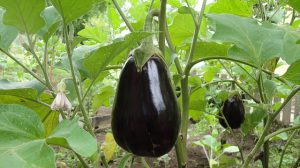Eggplants ready for harvest.