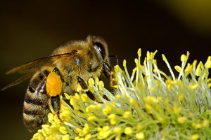 Pollinating bee.