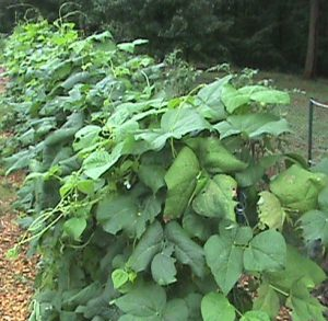 The green beans look like kudzu from a distance.