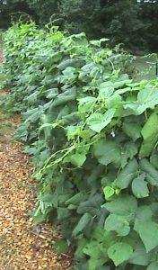 A trellis wall full of green beans.