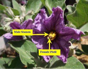 Male stamen and female pistil on a purple eggplant flower.