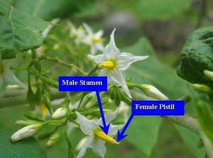 Male stamen and female pistil on a white eggplant flower.