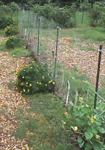 Getting ready to plant more cucumbers on the trellis.