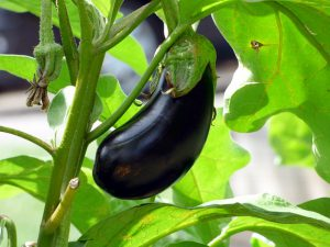 Eggplant ready to be picked.
