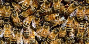 Bees - Friends or Foes