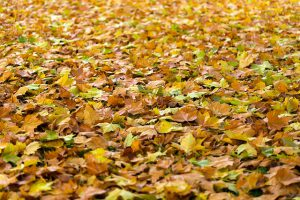 Dry, brown ingredients such as fall leaves for compost.