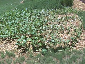 Jim's watermelon patch is gettin' there!