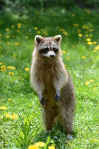 Racoon looking for a compost pile meal.