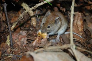 Mouse enjoying food in a compost pile.