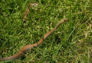 Snake lurking nearby a compost pile.