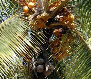 Tall coconut tree with many heavy coconuts.