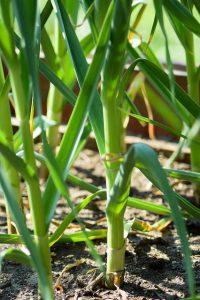 Hardneck garlic scapes